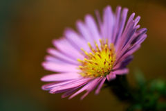The Aster (Compositae of Asteraceae). Macro shot of an Aster flower. Asters are in many types and colors Stock Photo