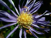 Aster, Composites, Blossom, Bloom Royalty Free Stock Image