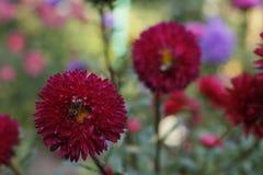 Aster con una abeja en el pétalo Fotos de archivo