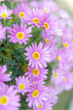 Aster cordifolius - pink flowers during blossom season in botani Royalty Free Stock Images
