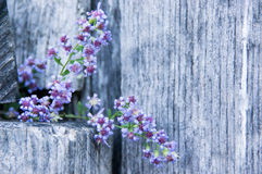 Aster Cordifolius on a Wooden Farm Fence II. An Aster Cordifolius placed on a weathered wooden farm fence by a passer by Royalty Free Stock Images