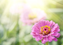 Aster or Dahlia Flowers on Green Grass. Summer Sunlight Scene: Aster or Dahlia Flowers on Green Grass Background Stock Image