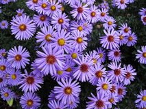 Aster daisy. Flower bed of aster daisy Stock Photos