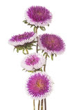Aster de Chine Photo stock