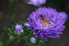 Aster de la flor con una abeja Imágenes de archivo libres de regalías