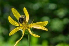 Aster de oro melenudo y Honey Bee Foto de archivo