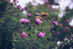 Aster de pluriannuel d'automne Photo stock