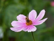 Aster del mexicano de la abeja y del cosmos del jardín de flores Foto de archivo libre de regalías