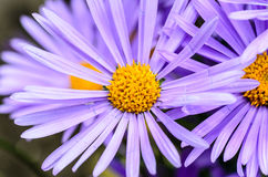 Aster with delicate violet petals. And yellow core of flower Royalty Free Stock Image