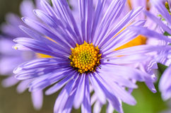 Aster with delicate violet petals. And yellow core of flower Royalty Free Stock Images