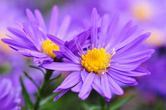 Aster. Detail of a purple aster Stock Images