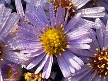 Aster and dew drop in sun Royalty Free Stock Photo