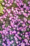 Aster di fioritura dei cespugli Fotografie Stock Libere da Diritti