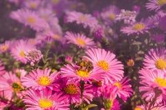 Aster di fioritura dei cespugli Immagini Stock Libere da Diritti