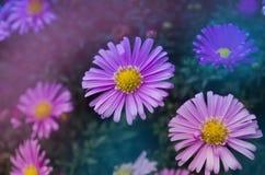 Aster di fioritura dei cespugli Fotografie Stock