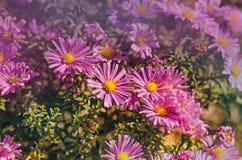 Aster di fioritura dei cespugli Immagine Stock