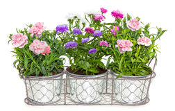 Aster and Dianthus flowers potted in metal flowerpots. Stock Image