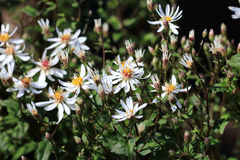 Aster divaricatus White forest aster flowers. Aster divaricatus flourishes rich and prolonged with white flowers. Aster divaricatus can grow in the shade and can Royalty Free Stock Photography