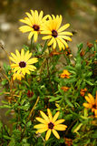 Aster domosus Stock Images