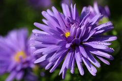 Aster with drops Royalty Free Stock Images