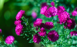 Aster Stock Images