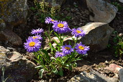 Aster dumosus - Lady in blue Stock Photos