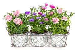 Aster en Dianthus-bloemen ingemaakt in metaalbloempotten stock afbeelding