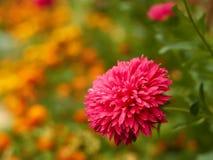 Aster en un macizo de flores Fotografía de archivo
