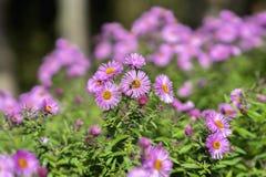 Aster espeso, dumosum de Symphyotrichum, planta en la familia de aster con la abeja Planta brillante pintoresca en otoño Fotografía de archivo libre de regalías