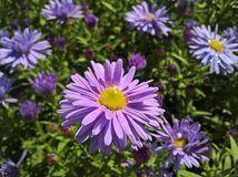Aster européen Amellus de Michaelmas-marguerite Photo stock