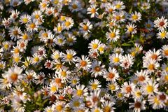 Aster field. White aster pilosus wild flowers on the field stock images