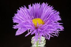 Aster and flask Royalty Free Stock Images