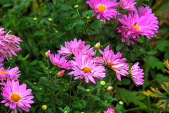 aster Flor do jardim Foto de Stock