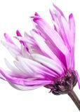 aster Flor hermosa en fondo ligero Imagen de archivo