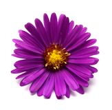 Aster flower. Head isolated on white Stock Images