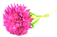 Aster flower. Pink Aster flower over white Stock Photography