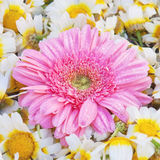 Aster flower. Stock Images