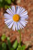 Aster flower Royalty Free Stock Image