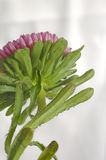 aster flower back of plant Stock Images