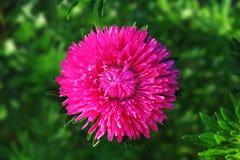 Aster flower Stock Photo