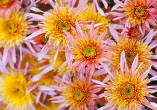 Aster flower-bed Royalty Free Stock Image