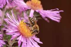 Aster Flower with Bee Royalty Free Stock Photo