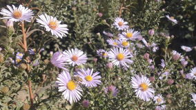 Aster Flower And Bees stock video