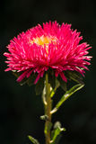 Aster flower on a black background.  Stock Photos