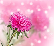 Aster flower on a blurred background Royalty Free Stock Photo