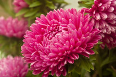 Aster flower. Close up aster autumn flower royalty free stock photos