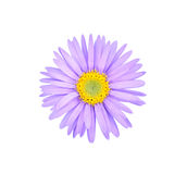 Aster flower. Close-up isolated on white background Stock Photo