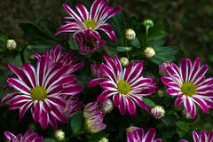 Aster. Flower in front of the summer garden Stock Photos