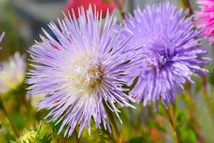 Aster flower in the garden Stock Photography