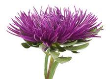 Aster flower head Stock Photos